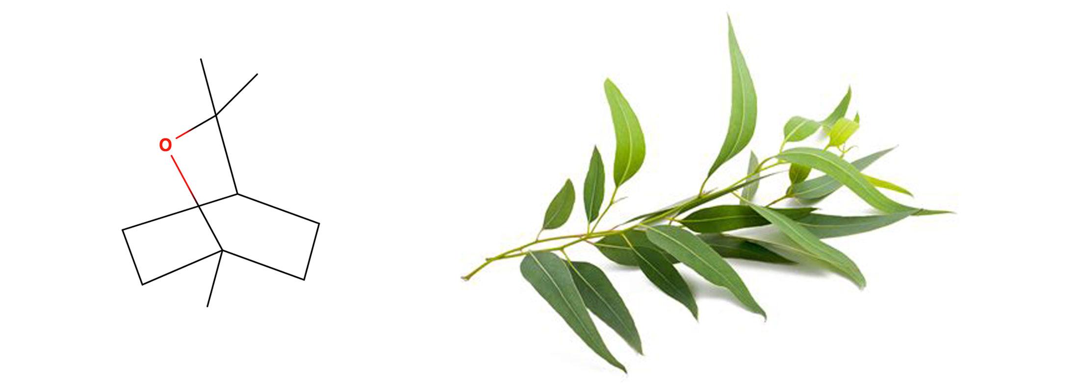 Floraplex - What is Eucalyptol?
