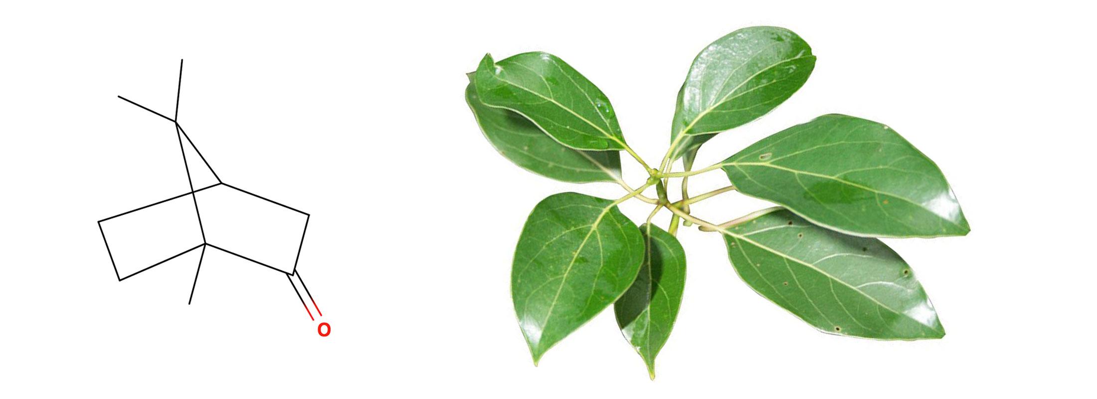 Floraplex - What is Camphor?